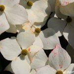 Asiatischer Blüten-Hartriegel (Cornus kousa)