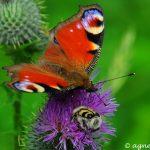 Tagpfauenauge (ist das andere eine Biene?)